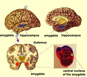 Image of teh Amygdala, Courtesy: http://thebrain.mcgill.ca/